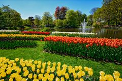 Blooming tulips flowerbed in Keukenhof flower garden, Netherland. Blooming tulips flowerbeds in Keukenhof flower garden, also known as the Garden of Europe, one royalty free stock photography