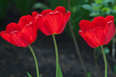 Blooming tulips on the flowerbed Stock Image