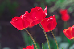 Blooming tulips on the flowerbed Royalty Free Stock Photography
