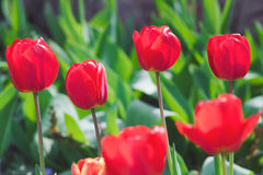 Blooming tulips on the flowerbed Stock Photography
