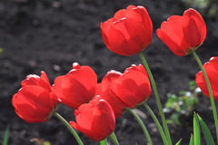 Blooming tulips on the flowerbed Royalty Free Stock Photo