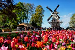 Blooming tulips flowerbed and windmill in Keukenhof flower garde. KEUKENHOF, NETHERLANDS - MAY 9, 2017: Blooming pink tulips flowerbed in Keukenhof garden, aka stock photography