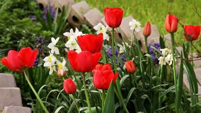 Blooming tulips and flowers in flowerbed  in spring. Blooming tulips in flower bed in the spring stock footage