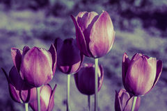 Blooming tulips Stock Photo