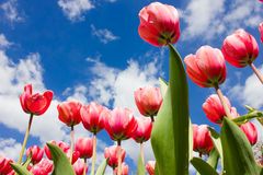 Bright Red Tulip Fowers  Stock Images