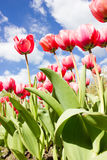 Bright Red Tulip Fowers  Royalty Free Stock Images