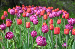 Blooming tulips in a garden Stock Photos