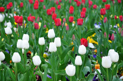 Blooming tulips in a garden Stock Photo
