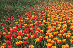 Free Blooming Tulips In Spring. Stock Photo - 92756860