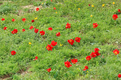 Blooming tulips and irises in the steppe on a hurricane, Rostov Royalty Free Stock Image