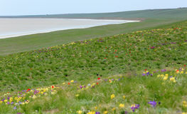 Blooming tulips and irises in the steppe near the salt lake Lopu Stock Image