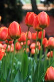 Blooming tulips Royalty Free Stock Photography