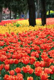 Blooming tulips Stock Image
