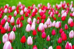 Blooming tulips.The natural background. Stock Photos