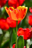 Blooming tulips Royalty Free Stock Photo