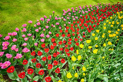 Blooming tulips in an outdoor garden Stock Images