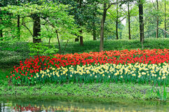 Blooming tulips in the park Royalty Free Stock Photos