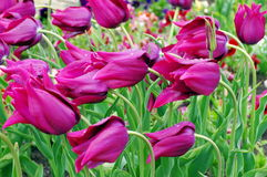 Spring background with colored flowers. Blooming purple tulips Stock Photography