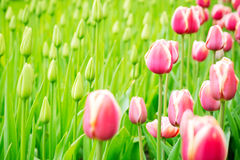 Blooming tulips and saplings on a field Stock Images