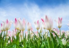 Blooming tulips shot from lower ceiling angle Stock Image