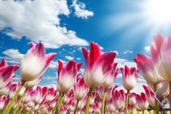 Blooming tulips shot from lower ceiling angle Royalty Free Stock Photos