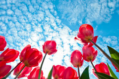Blooming tulips and sky Royalty Free Stock Photography