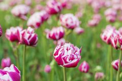Blooming  Tulips in a Spring Garden with Backlit Royalty Free Stock Image