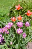 Blooming tulips on summer day Royalty Free Stock Image