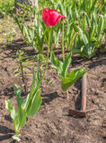 Blooming tulips and weeded flower bed in the garden Stock Photo