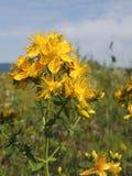 Blooming Tutsan at summertime Hypericum perforatum Stock Images