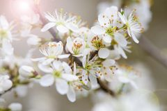 Blooming twig of apple tree Royalty Free Stock Image