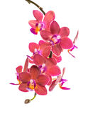 Blooming twig of beautiful red orchid, phalaenopsis is isolated Stock Photos