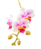 Blooming twig of beautiful white and purple orchid, phalaenopsis stock photography