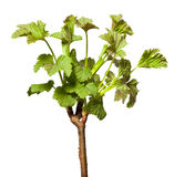 Blooming twig of blackcurrant Stock Image