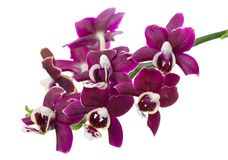 twig of dark purple with white orchid, phalaenopsis is isolated on background royalty free stock photos