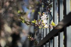 Blooming twig. On the fence, spring Stock Photos