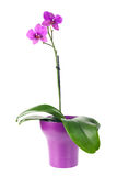 Blooming twig of fuchsia orchid in purple flower pot isolated. Royalty Free Stock Images