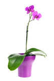 Blooming twig of fuchsia orchid in purple flower pot isolated. Stock Image