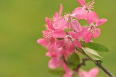 Blooming twig on green background. Royalty Free Stock Images