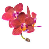 Blooming Twig Of Beautiful Red Orchid, Phalaenopsis Is Isolated Stock Photography