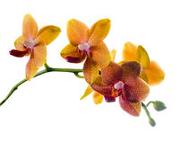 Blooming  twig of orange spotted orchid, phalaenopsis is isolate Stock Photo