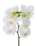 Blooming twig of Phalaenopsis orchid flower. Stock Image