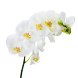 Blooming twig of Phalaenopsis orchid flower. Stock Images