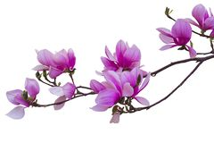 Blooming twig of pink magnolia for design stock images