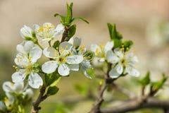 Blooming twig of plum lat. Prunus domestica in spring garden Stock Image