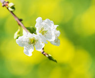 Blooming twig of plum tree Royalty Free Stock Images