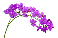 Blooming twig of purple orchid. Royalty Free Stock Photo