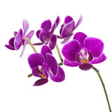 Blooming twig of purple orchid isolated on white background. Royalty Free Stock Photo