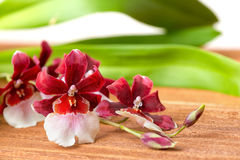 Blooming twig red and white orchid flower, cambria with green le Stock Images