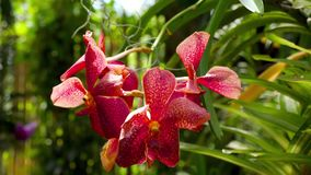Blooming twig of tiger orchid. Beautiful stem of vibrant tiger colored orchid flowers stock footage